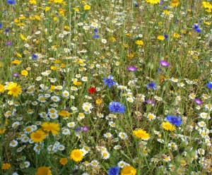 Seed Bomb wildflowers