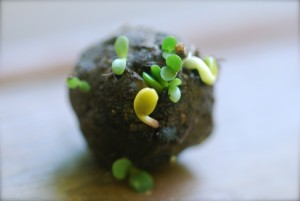 Irish Seed Bomb