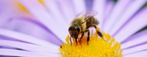 bee-flower-645x250