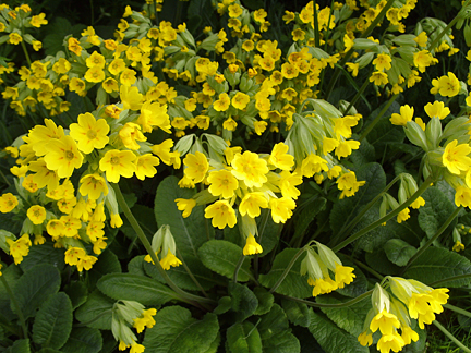 Wild flowers species in ireland archives seed bomb wild flowers pastures cliff tops and hedgerow areas throughout ireland cowslip belongs to the primula family while displays beautiful yellow flowers throughout mightylinksfo Images