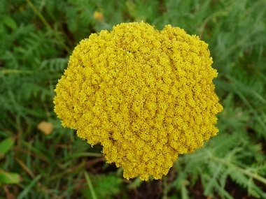 Wild flowers species in ireland archives seed bomb wild flowers yarrow is a native irish wildflower perennial of pastures roadsides and wasteland areas throughout ireland it produces beautiful tiny white flowers from mightylinksfo