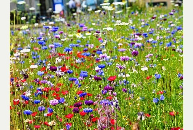 Seed Bomb Wild Flowers Display