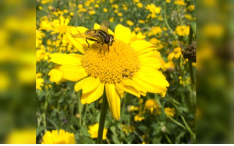 Corn Marigold Seed Bomb
