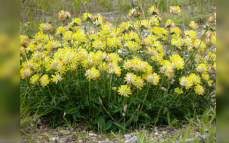 Kidney Vetch Seed Bomb