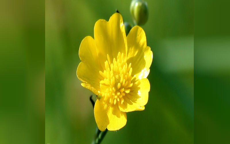 Meadow Buttercup