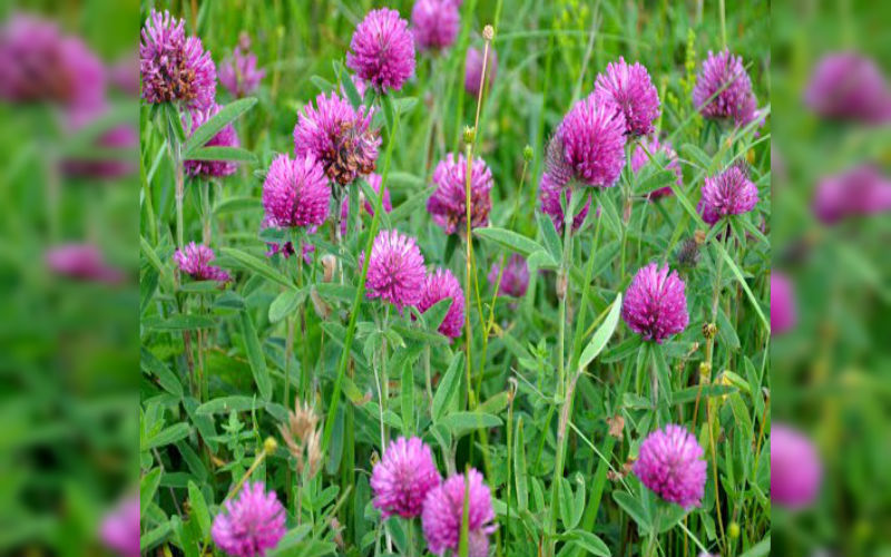 Red Clover Wild Flower Seed Bombs