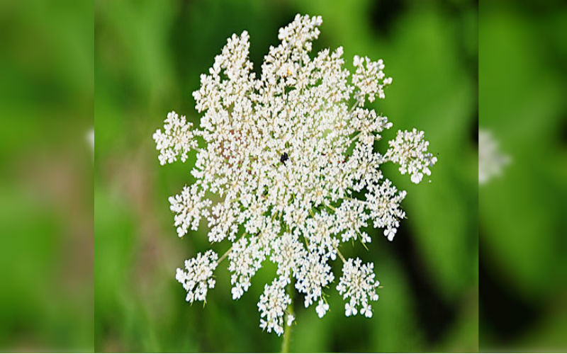 Wild Carrot Wild Flower Seed Bomb for Bee Food.
